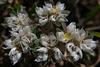 Paronychia argentea, Erva-prata