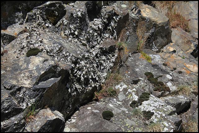 Colonie d'Umbilicaria - lichen (3)