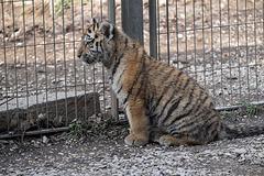 BESANCON: La Citadelle, Le tigre et les tigreaux. 21