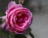A Natural Rose
