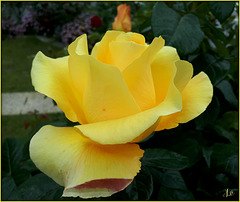 **La beauté d'une rose ** Explore **