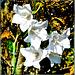 Pfirsichblättrige Glockenblume. ©UdoSm