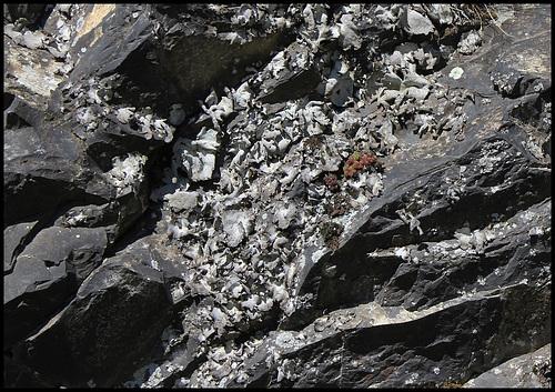 Colonie d'Umbilicaria - lichen (5)