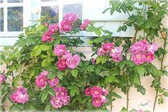 Roses de Gerberoy