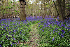 A walk in the Bluebells ~ For Sarah O'