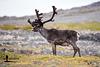 Reindeer Project 6/7; Bull