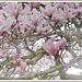 Magnolien in voller Pracht