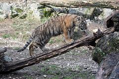 BESANCON: La Citadelle, Le tigre et les tigreaux. 22