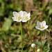Sumpfherzblatt (Parnassia palustris) auch Studentenröschen genannt