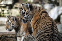 BESANCON: La Citadelle, Le tigre et les tigreaux. 24