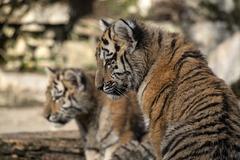 BESANCON: La Citadelle, Le tigre et les tigreaux. 25