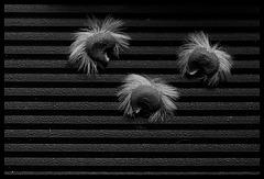 Punky seeds - version noir et blanc