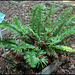 Polystichum munitum
