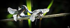 Très romantique encore, pour des libellules, de l'âge d'Or .......!