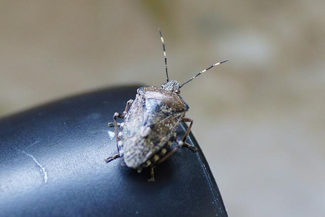 Eine Graue Gartenwanze (Rhaphigaster nebulosa) hat sich in unsere Wohnung verirrt II
