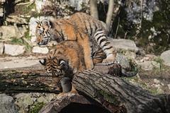 BESANCON: La Citadelle, Le tigre et les tigreaux. 26