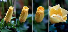 Hibiscus blossom unfolds... ©UdoSm