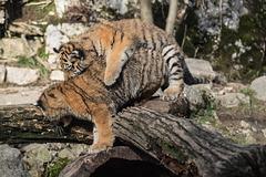 BESANCON: La Citadelle, Le tigre et les tigreaux. 27
