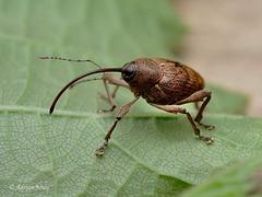 Nut Weevil (Cuculio nucum).