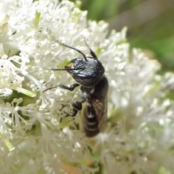 Megachile species (Resin Bee)