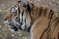 BESANCON: La Citadelle, Le tigre et les tigreaux. 28