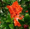 Fleur de grenadier (sans fruits)*********