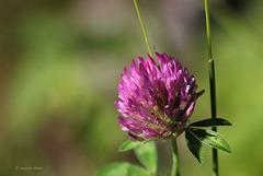 Les modestes  ... Trèfle des prés , Trifolium pratense