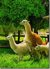 """Llamas"" - Gondava - Villa de Leyva - Boyacá - Colombia"
