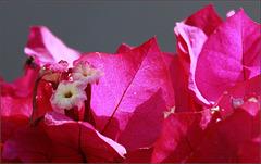 Fleurs de la bougainvillée