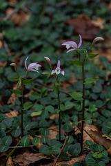 Triphora trianthophorus (Three-birds orchid)