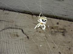 Cathead spider