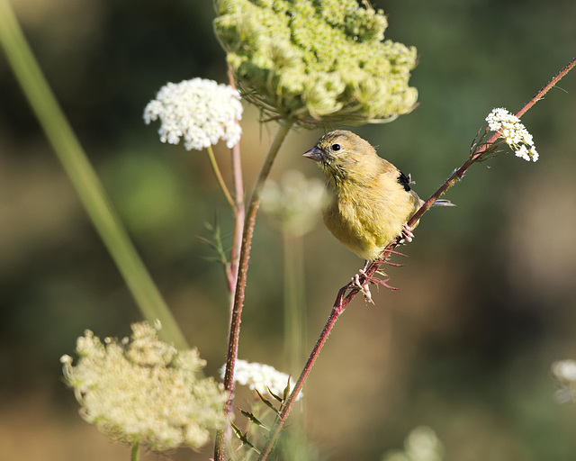 Goldfinch on Queen Anne's Lace in Summer