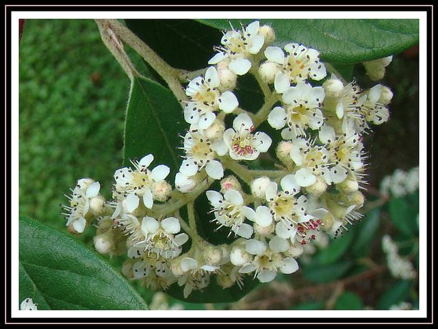 Kumarahou Blossom.