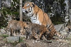BESANCON: La Citadelle, Le tigre et les tigreaux. 29