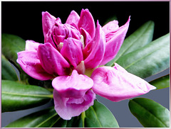 Rhododendron blossom opens... ©UdoSm