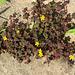 Braunklee mit gelben Blüten