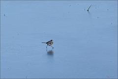 Bergeronnette grise (motacilla alba) patinant.