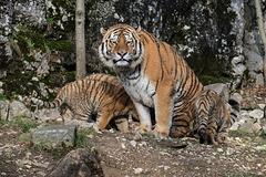 BESANCON: La Citadelle, Le tigre et les tigreaux. 30
