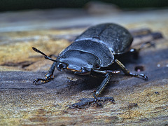 Dorcus parallelipipedus, The Lesser Stag Beetle