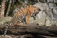 BESANCON: La Citadelle, Le tigre et les tigreaux. 31