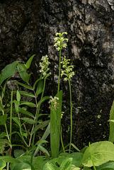 Gymnadeniopsis clavellata (Club-spur orchid)