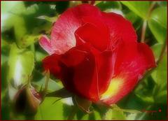 L'important c'est la rose ............!