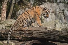BESANCON: La Citadelle, Le tigre et les tigreaux. 32