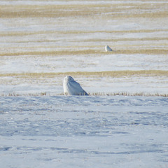Two male Snowy Owls in the same field