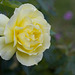 Rose test-2