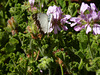 A caper white butterfly
