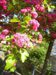 Rotdornblüten