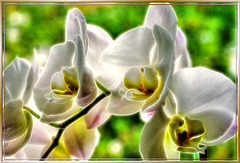 Orchid illuminated... ©UdoSm