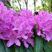 Rhododendron-Besucher