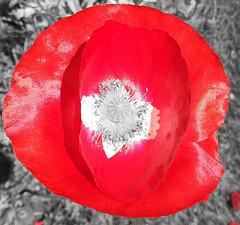 poppy colorkey